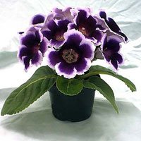 Сегодня насчитывается 20 видов глоксиний, которые в... Цветы глоксиний бывают махровыми, простыми, двухцветными и...